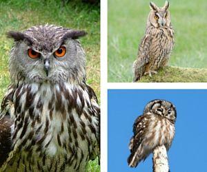 Beautiful Owl Species to See in the Wild www.bucketlistnature.com