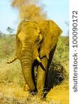 Elephant throwing dust in Madikwe