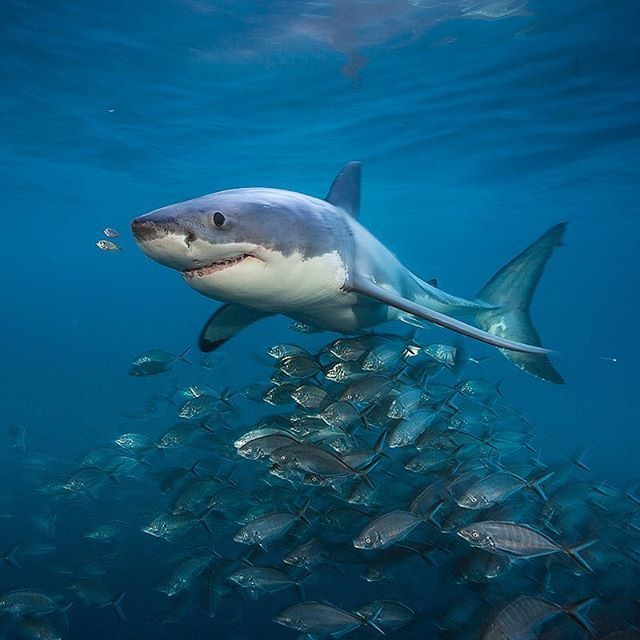 Photo by @BrianSkerry.  A Great White Shark swims near the surface with an entourage of jacks at dusk in the waters off of South Australia. Often portrayed as one-dimensional monsters, these animals in reality are far more complex than once believed. Researchers are slowly beginning to reveal portions of their lives, including annual migrations of thousands of miles, life spans of over 70 years and adaptive feeding strategies. In the time ahead, more may be learned about the social…