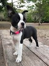 25+ best ideas about Baby Boston Terriers on Pinterest | Boston terrier puppies, Boston terriers ...