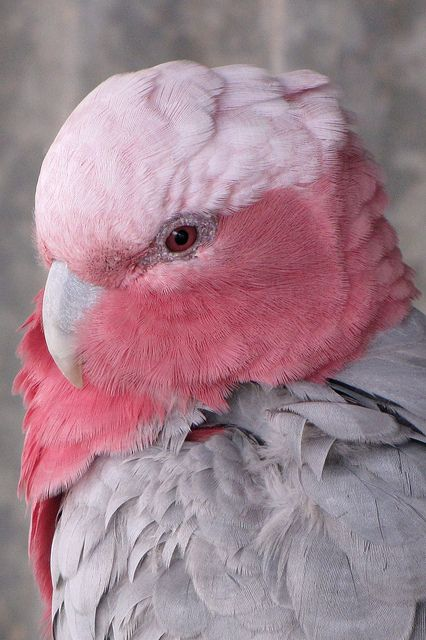 Rose-breasted Cockatoo, Australia  (by zoom_eric on Flickr)..these birds are so soft   so beautifull. .I love them.