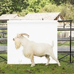 Ty Foster's Hecksher Farm livestock portrait series was a collaborative effort with the Stamford Museum & Nature Center that runs the farm. Love the images, especially the highland cow!