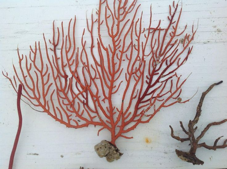 Should you ever find a gorgeous sea fan like this one (Topsail Island, NC), frame it as seen here: http://www.completely-coastal.com/2010/09/framed-sea-fan.html