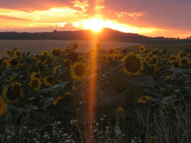 Sunset over sunflowers by Kenko., via Flickr
