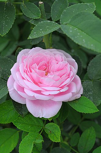 Baroness  Rothschild. Hybrid Perpetual.  Large, flat flowers, closely surrounded with leaves; the petals incurving to form a saucer. Dark rose, shading to shell-pink at the edges. Fragrant.