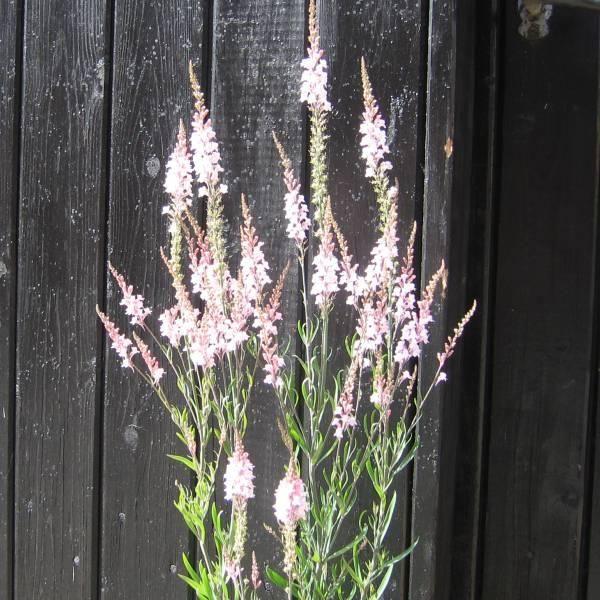 Torskemund Purpur-, rosa 'Canon J. Went' Linaria purpurea  Sået 8.2 - inde. Purpur Spiret- ?  Sået 8.2 - inde. Rosa 'Canon..' Spiret -?