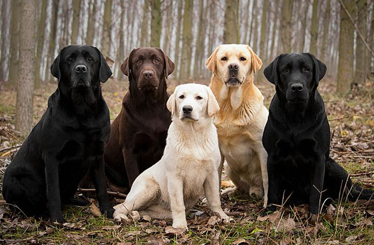 Labrador Retriever Labradors, also known as Labrador Retrievers or simply Labs, are one of several kinds of retriever dogs. Traditionally these beautiful dogs bred for their ability to collect objects for their owners. Labradors are large breed dogs with males typically weighing between 29 and 36 kg and females... http://www.vet-portshepstone.co.za/labrador-retriever/
