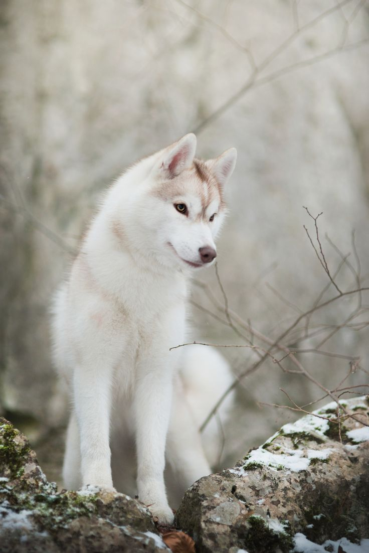 Pin By Maxinjo On Husky Spitz Nordic Dogs Animals