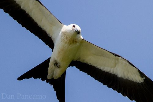 Swallow-tailed Kites of Dayton Texas by Dan Pancamo, via Flickr