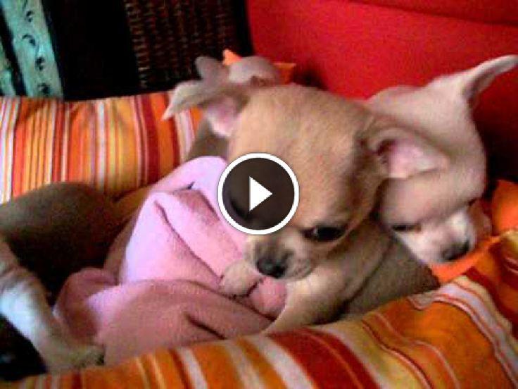 Video e immagini divertenti ogni giorno: #cuccioli di #chihuahua