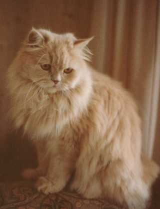 I Have Had Many Yellow Cats That I Have Had To Give Away Because Of My Dad S Darling Mutts Cat Love Persian Cat Persian Cat Breeders