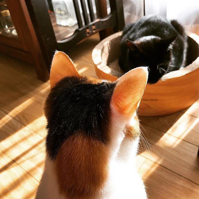 ベッドを日当たりのいい場所に変えてみた♡ 寒がりのジジはすぐさま入ってウトウト(_ _).。o○ その前には順番待ちと言うか、横取りと言うかをしようと目論むヒトが…(⌓⍢⌓〣)  #freetempo_0323 #iPhoneography #猫 #ねこ #ネコ #cat #cats #instacats #mycat #lovelycat #nekostagram #catstagram #lovecats #catlover #癒し #家猫 #愛猫 #ジジらいふ #きなこらいふ #にゃんら部 #かぎしっぽ #靴下猫 #nekoclub #三毛猫 #白黒猫 #保護猫 #ねこすたぐらむ #にゃんすたぐらむ #にゃんだふるらいふ #猫のいる暮らし