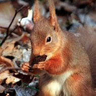 Where To See Red Squirrels | Red Squirrels Northern England