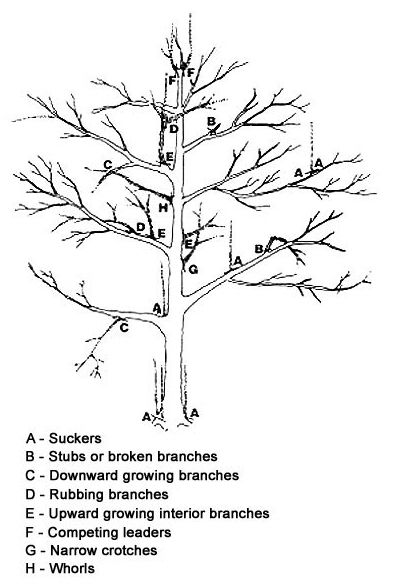 pruned apple tree illustration