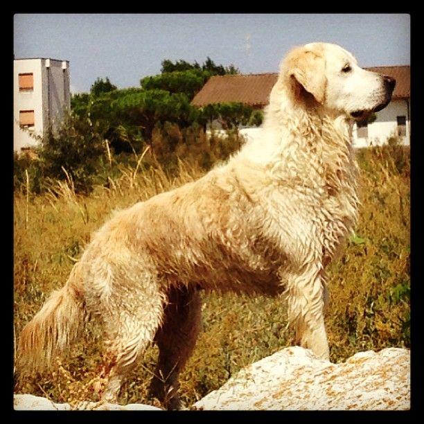 SnapWidget   In vedetta sugli scogli #goldenretriever #lidodiclasse #ilovemydog #dog #sea #igersfc #igersra #cane #mare
