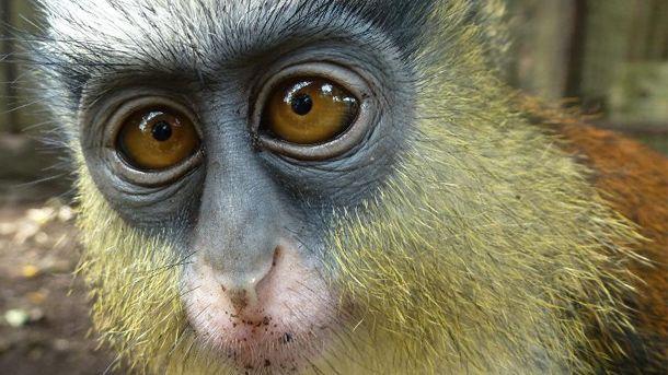 Witneusmeerkatten, monameerkatten, roodkopmangabeys, het zijn enkele van de bewoners van een opvangcentrum voor apen in Nigeria dat noodgedwongen moet sluiten. Het centrum vangt inmiddels 150 verweesde of in beslag genomen apen op. Nadat een grote donateur zich in 2014 terug trok, kwam het centrum in de financiële problemen. Een taskforce van organisaties, waaronder het IFAW, helpt mee om een nieuw thuis te vinden voor de apen en een aantal dieren weer uit te zetten in het wild.