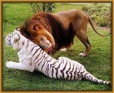 Resultado de imagen para animales hermosos como los leones,tigres