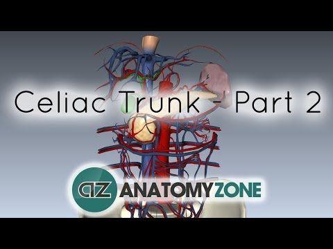 Celiac Artery/Trunk - Part 2 - Anatomy Tutorial - YouTube