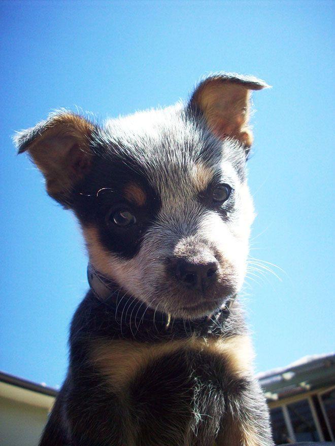 Best 25 Blue heelers ideas on Pinterest Cattle dogs Blue
