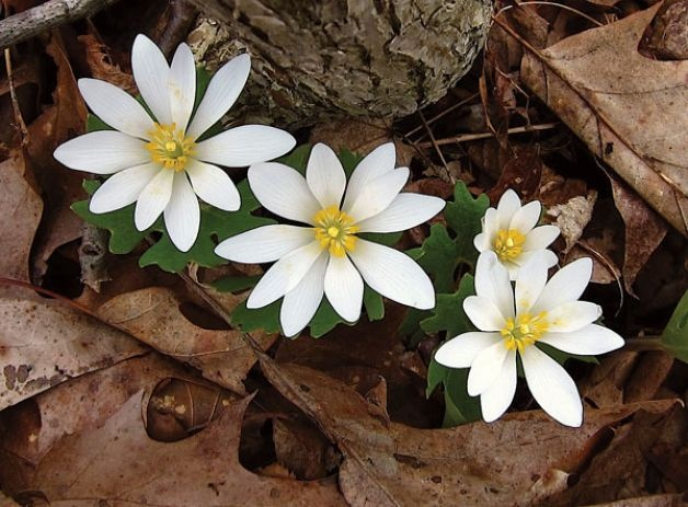 Bloodroot.     Where and how to find wildflowers around Albany!: Finding Wildflowers, Bloodroots Mi Favorti, Kansas Gardens, Wildflowers N Plants, Bloodrootsmi Favorti, Daisies, Favorti Flowers, Bloodroot Mi Favorti