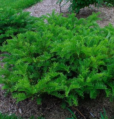 Cephalotaxus harringtonii 39 prostrata 39 shade tolerant for Plants shade low maintenance