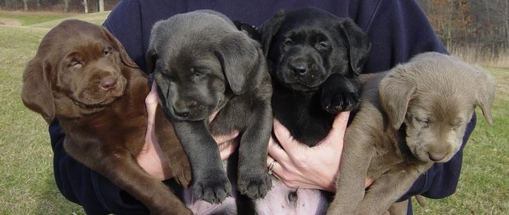 I will take one of each please <3 Chocolate Lab, Charcoal Lab, Black Lab & Silver Lab <3