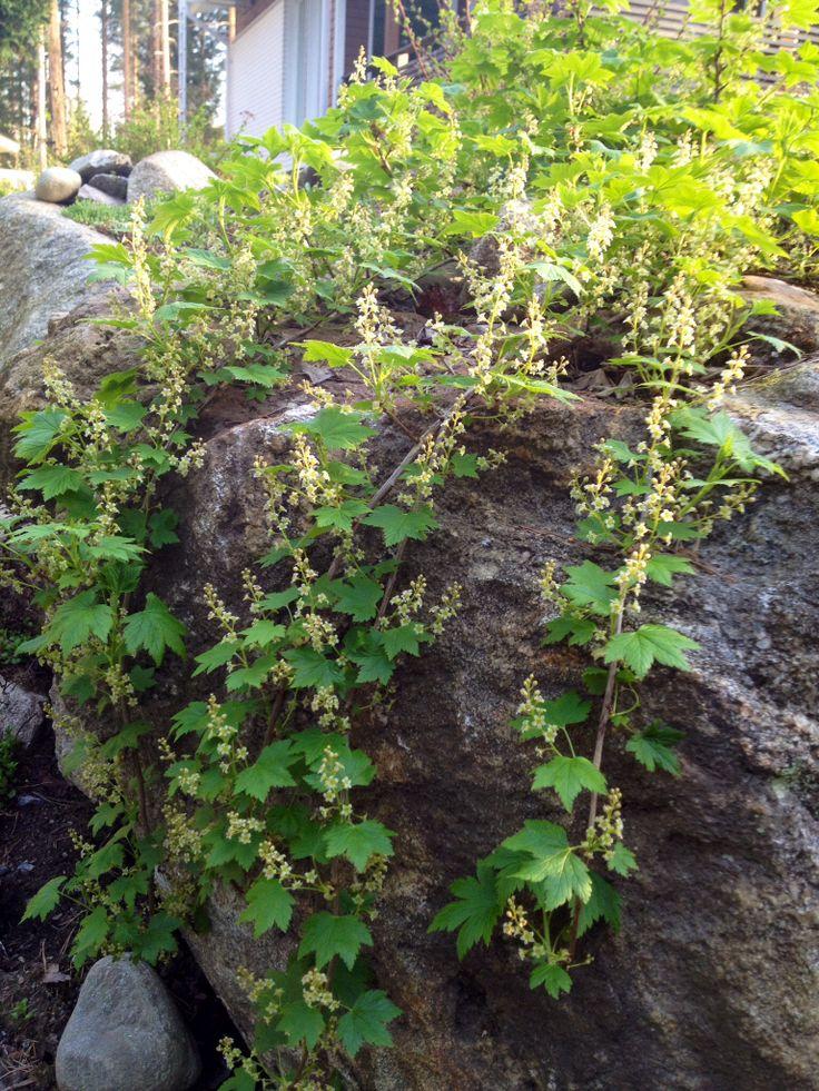 #lamoherukka#garden