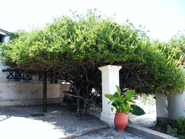 "Myrtus communis - The holy myrtle of the monastery ""Paliani"" on Crete."