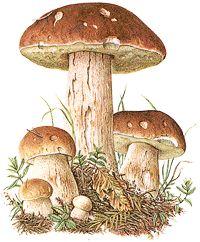 Bildquelle: Ernst Klett Verlag - Steinpilz