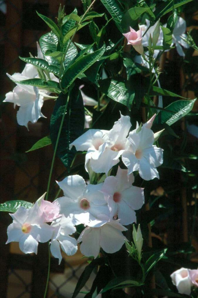 Climbing Flowering Vines Blooms | Flowering Vines