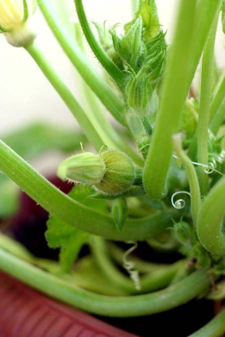 zucchine in vaso 1