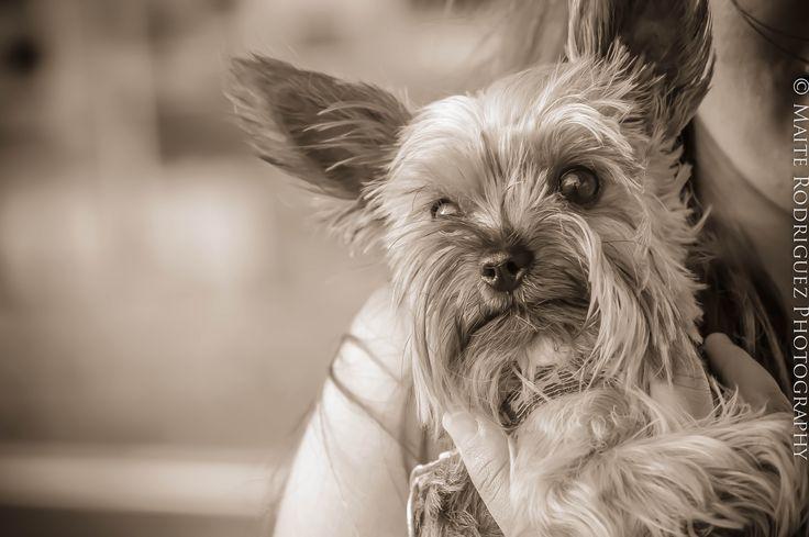 Una de las razas más populares es el Yorkshire Terrier. Sin embargo, la mayoría de los propietarios piensan que es un perrito pequeño y dócil.