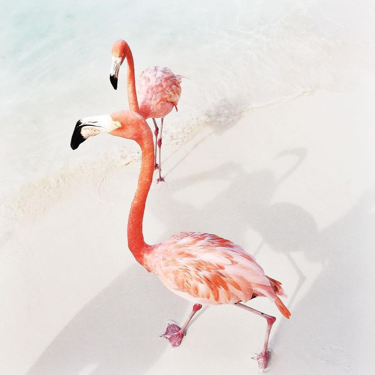 We had some fun with these flamingos! Also a little bit scared haha #flamingo #renaissanceisland #renaruba #onehappyisland #privateisland