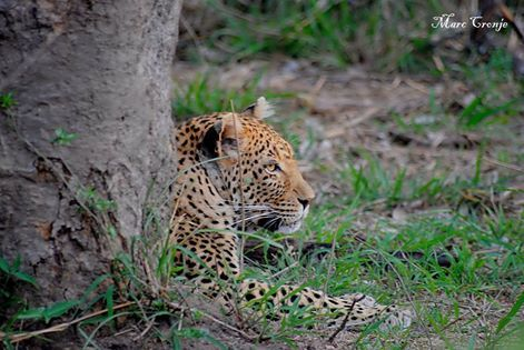 On a recent trip to the Sabi Sand Game Reserve we were treated to the most magnificent photo opportunities for our guests. And in this case, the Leopard didn't seem to mind either.