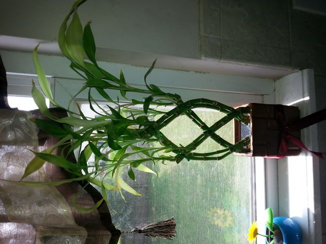 how to raise bamboo plants indoors