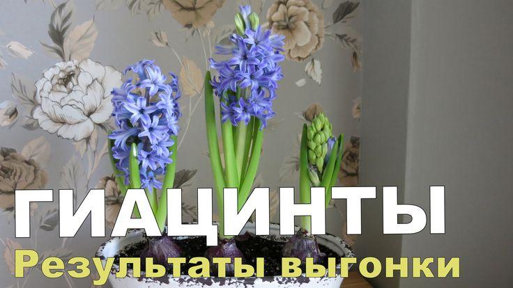 Как вырастить ГИАЦИНТ дома. 2. Цветение // Выращивание гиацинтов
