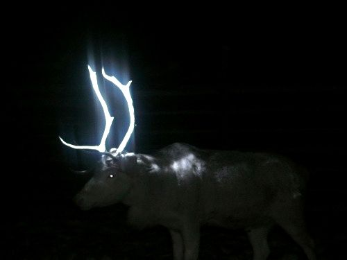 Finland's ingenious and simple answer to preventing road accidents caused by reindeer: Paint their antler's with reflective paint! I love it