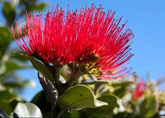 The Pōhutukawa tree flowers from November to January with a peak in mid to late December (which is summer in the southern hemisphere), with brilliant crimson flowers covering the tree, hence the nickname New Zealand Christmas Tree.