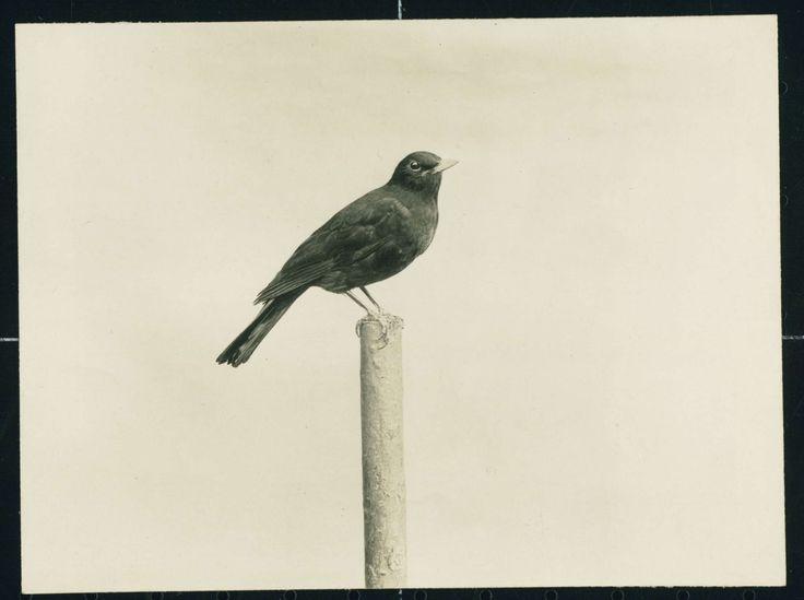 Merel of een Zwarte Lijster op een paaltje, Richard Tepe, 1900 - 1930