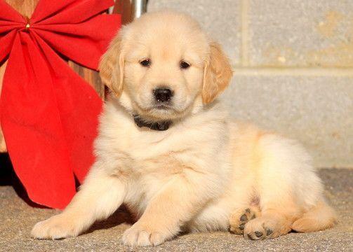 Golden Retriever Puppy For Sale In Mount Joy Pa Adn 57750 On