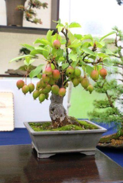 mimosa bonsai tree   Bonsai Care For Crab Apple (Malus) (Tree Type (Outdoors))