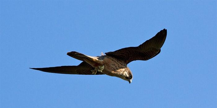 Birds of Greece: Eleonoras Falcon