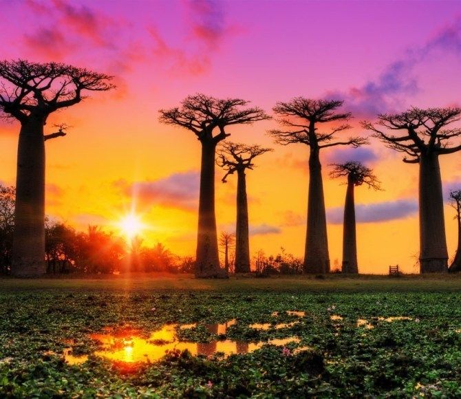 Beautiful Baobab trees at sunset at the avenue of the baobabs in Madagascar | 7 Awesome Things to Do and See if You Travel to Madagascar