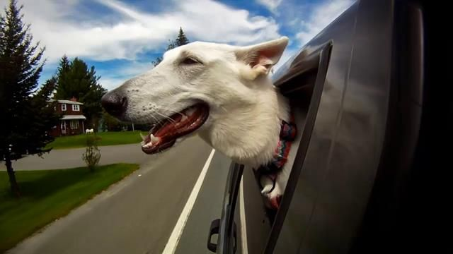 Dogs in Cars >>Here's what makes dogs awesome: with their infinite capacity to be surprised, to appreciate and to enjoy, they take great pleasure from the simplest of things. This video helps cure any blues.
