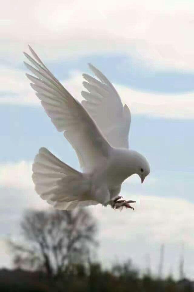 Pigeon guvercin