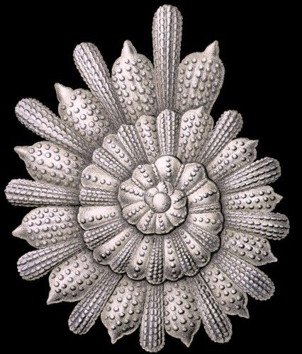 Thalamophora with alternating spiral by Ernst Haeckel