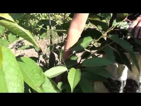 Как вырастить черешню Формировка по типу Испанский куст. Часть 1 - YouTube