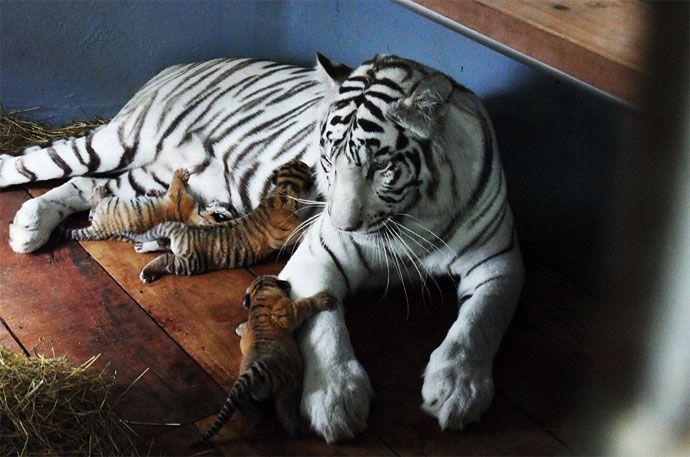 Las primeras fotos de los tres tigres de bengala que nacieron en el Zoológico de Cali