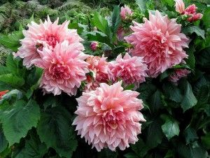 INFORMATION ABOUT DAHLIA FLOWERS… Image by Arthur Chapman If ever there was a flower that knew the meaning of variety, it is the Dahlia. While it's colors are limited to the warm ranges of red, orange, yellow, pink and white, it's flowers come in a dizzying array of shapes and …