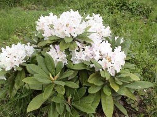 Suomessa kehitetty alppriuusu Pohjolan tytär on alppiruusuista tuuhein. Sillä on hienot nukkapintaisen oloiset, hieman hopeiset lehdet ja valkeanvaaleanpunainen kukinta alkukeväästä. Ikivihreänä loistava kasvi. Nukka-alppiruusu ei kasva metriä korkeammaksi, vaikka leveyttä sille saattaa kertyä aika lailla. Pidä leikkaamalla sen kokoisena kuin haluat.